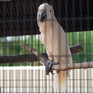 Moluccan Cockatoo, photo courtesy of OpenCage.info